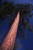 From the Ground View Up Trunk of Towering Pine. Enormous, old pine tree is photographed from the base looking up to the coniferous crown and deep blue summer Royalty Free Stock Image