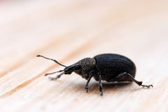 Ground Weevil Stock Image