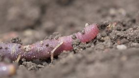 Ground Worm Macro Video. Macro video of ground worm crawling stock footage