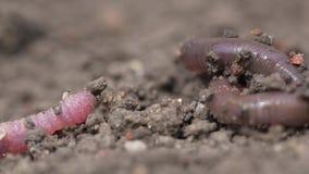 Ground Worm Macro Video. Macro video of ground worm crawling stock video footage
