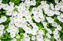 Groundcover flower in white color in a spring season at botanical garden, Sydney, Australia. A Groundcover flower in white color in a spring season at botanical stock photos