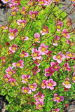 Groundcover garden plant - Arends Saxifraga (Saxifraga arendsii). A group of flowering plants with pink flowers royalty free stock photography