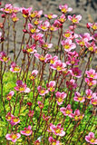 Groundcover garden plant - Arends Saxifraga (Saxifraga arendsii). A group of flowering plants with pink flowers stock image