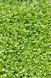 Groundcover plant Royalty Free Stock Photos