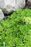 Groundcover of a rock garden. Beautiful green groundcover plant Saxifraga Arendsii close-up in a Japanese garden royalty free stock photography