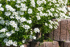 Groundcover with white flowers. Over a stone wall royalty free stock image