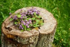 Groundcoverpurple in een boomstomp die wordt geplant Het bloembed bij het plattelandshuisje Stock Foto's