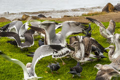 Grounded Gulls. Depicts the full bellied seabirds resting on the grass after an early meal Royalty Free Stock Photos