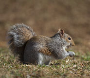 Grounded squirrel Stock Image