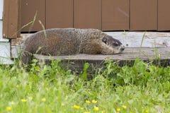 Groundhog休息 库存图片