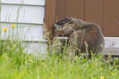 Groundhog休息 免版税库存图片