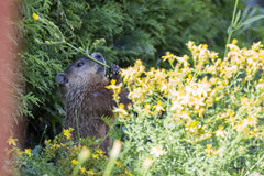 Groundhog哺养 免版税库存照片