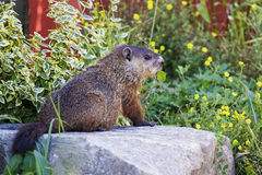 Groundhog哺养 免版税库存图片