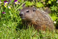 Groundhog在春天 库存照片