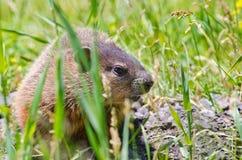 Groundhog在蒙特利尔 免版税库存图片