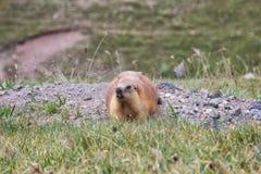 Groundhog坐岩石 免版税库存照片