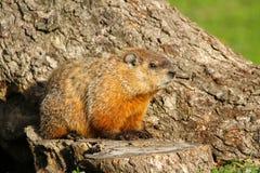 Groundhog坐树桩 免版税库存图片