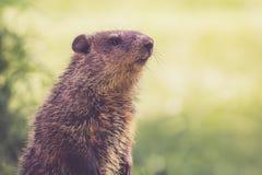 Groundhog妈妈在绿草密切注视注意一个春天早晨 免版税库存图片
