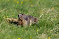 groundhog早獭monax画象在草原 免版税图库摄影