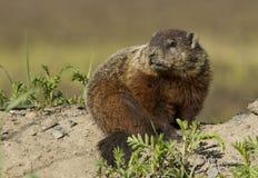 groundhog早獭monax 免版税库存照片