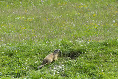 Groundhog στις ιταλικές Άλπεις Στοκ φωτογραφία με δικαίωμα ελεύθερης χρήσης