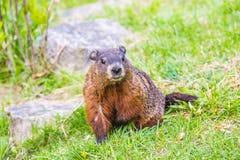 Groundhog - весенний день в саде Эдварда Стоковые Фото
