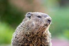 Groundhog мамы Стоковое Изображение RF