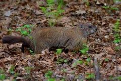 Groundhog между 2 папоротниками стоковые изображения rf