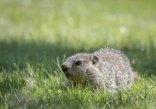 Groundhog младенца в зеленой траве Стоковые Изображения