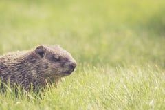 Groundhog младенца в траве с глазами закрыло Стоковые Изображения
