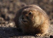 groundhog немногая Стоковые Фотографии RF