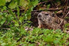 Groundhog смотря вне стоковые изображения rf