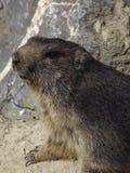 Groundhog (早獭monax) 免版税图库摄影