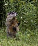 Groundhog (早獭monax) 图库摄影