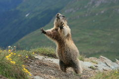 Groundhog. Detail of the marmot - photograph an der Grossglockner stock photography