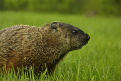 Groundhog. In grass in Maine near gold course stock photography