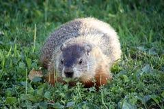 Groundhog Imagenes de archivo