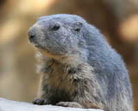 Groundhog Fotos de Stock Royalty Free