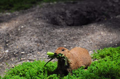 Groundhog. A Prairie Dog gathers some food in a South Florida zoo stock photos