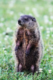 groundhog royaltyfri foto