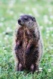 Groundhog Foto de archivo libre de regalías