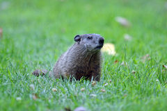 groundhog στοκ φωτογραφίες