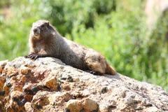 groundhog Стоковое Изображение RF