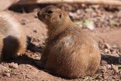 groundhog Стоковое Фото