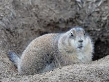 Groundhog. Sitting in his burrow Royalty Free Stock Image