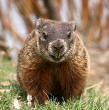 Groundhog Foto de Stock Royalty Free