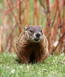 Groundhog. A groundhog by its den. Canada Royalty Free Stock Photos