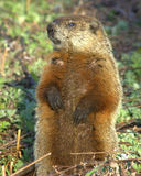 Groundhog Royalty Free Stock Photography