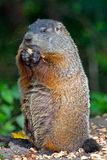 Groundhog Stockbild