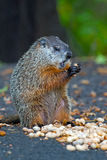 Groundhog. Sitting up eating a peanut royalty free stock images